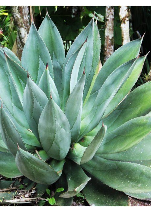 huile pour le corps Aloe vera Parfums des iles 100ml